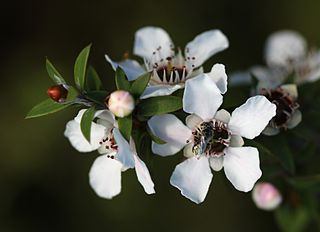 320px-Manuka_flowers_and_native_bee