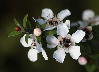 320px-Manuka_flowers_and_native_bee