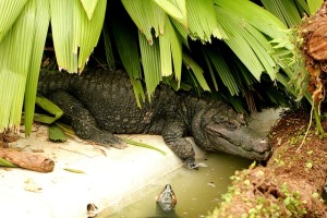 alligator-crown-1200169_640