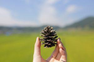 pine-cone-778719_640