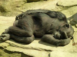 chimpanzee-1041892_640