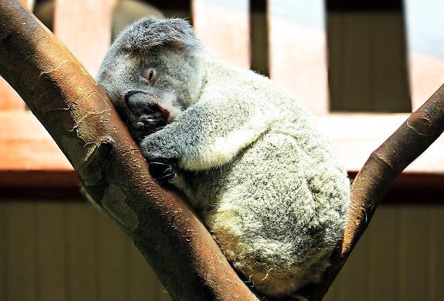 koala-1651052_640
